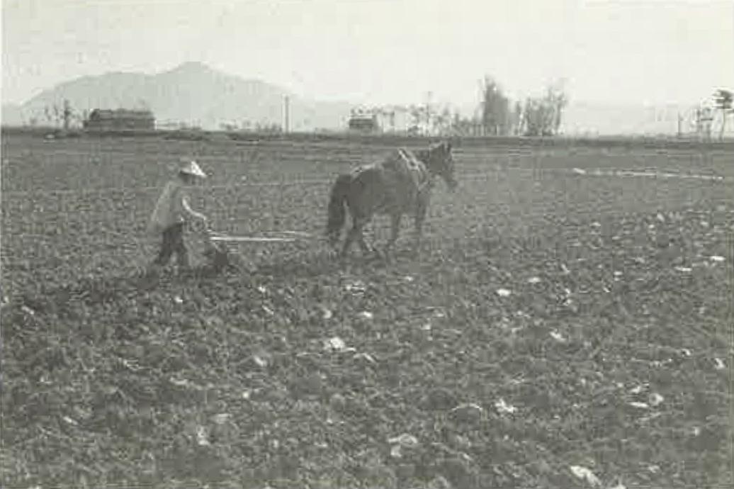 4-田起こしをする農耕馬